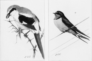 Black-and-white sketches of two perching birds.