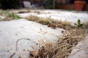 Tan grassy weeds in pavement cracks