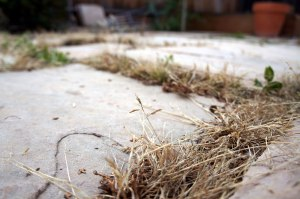 Tan grassy weeds in pavement cracks